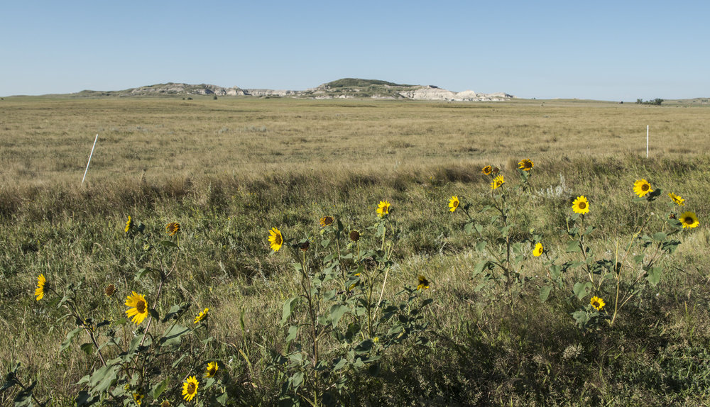 Sunflowers near White Butte