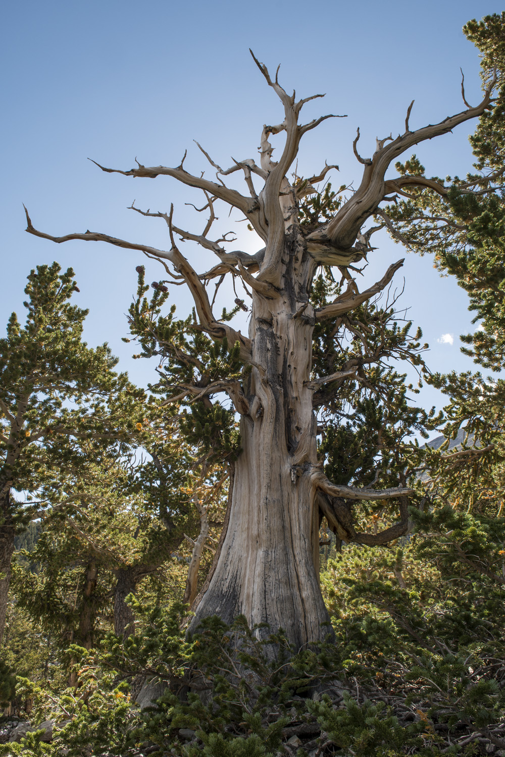 One of the ancient bristlecone pines.