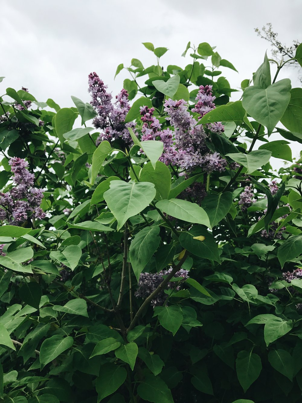 Heavenly smelling lilacs i pass by during morning runs.