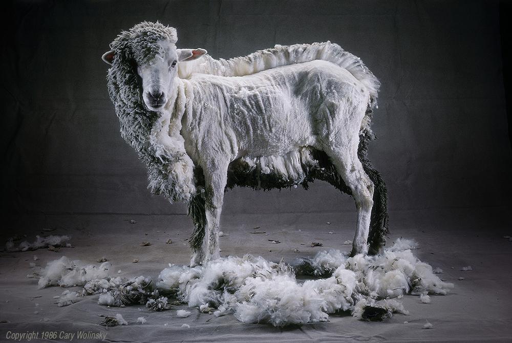 Half Shorn Sheep