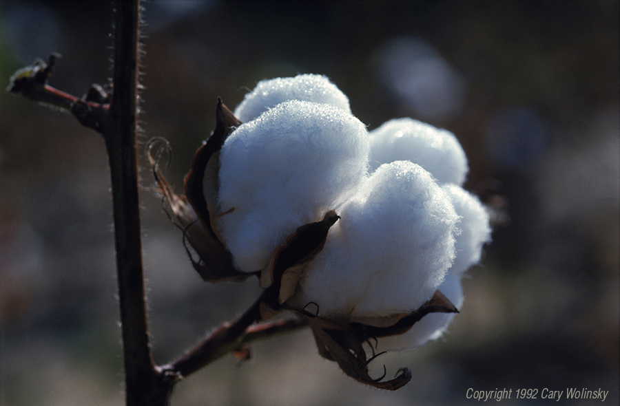 A cotton boll