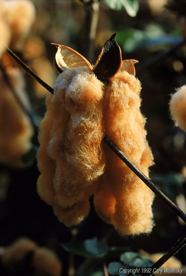 Cotton in shades of brown, rust and tan is grown in places of original domestication of cotton, Peru, Ecuador and Mexico.