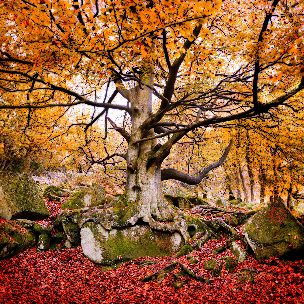 beech tree, autumn.jpg