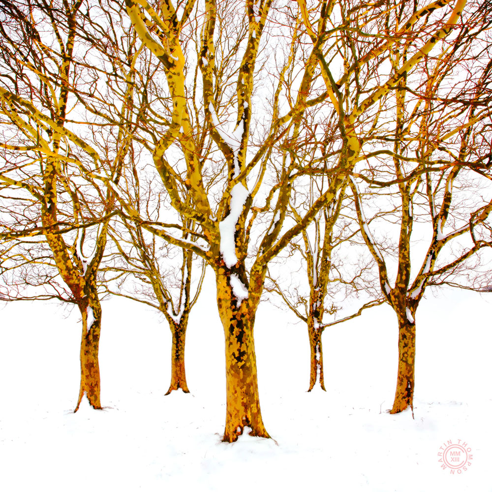 plane trees, winter.jpg