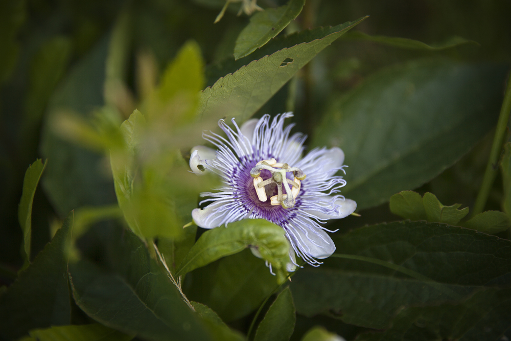 Gemini springs has the best passion flowers