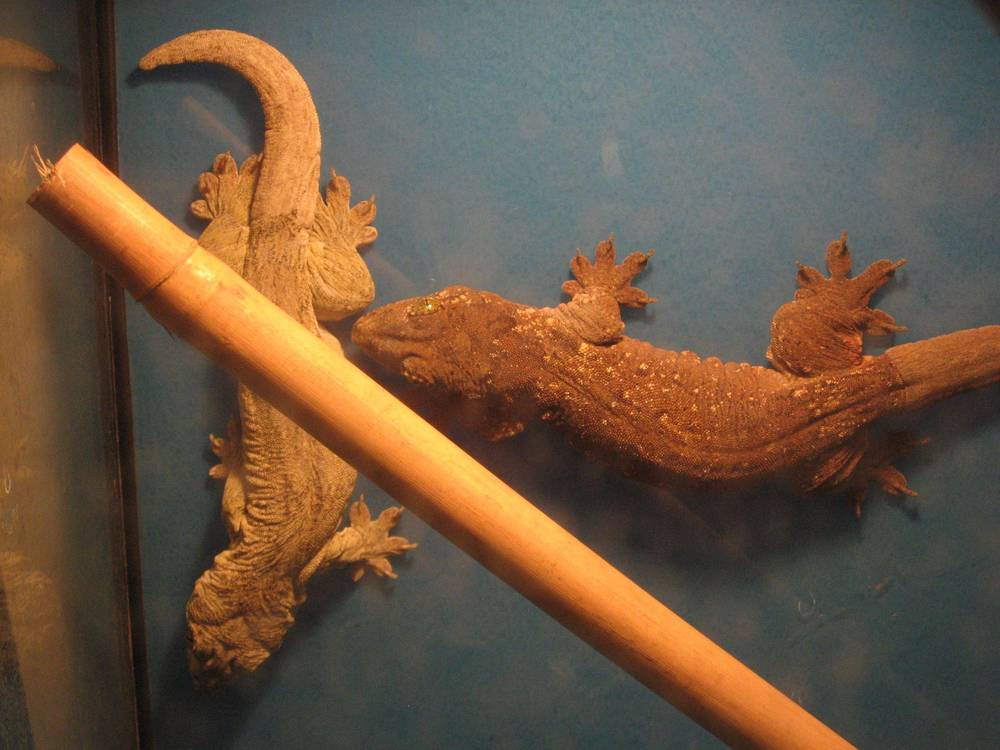 02 - Halmahera Geckos.jpg