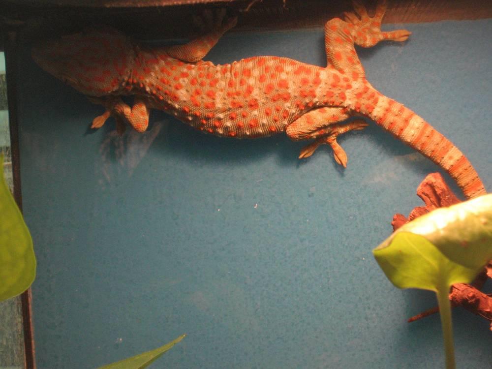 03 - Tokay Gecko.jpg