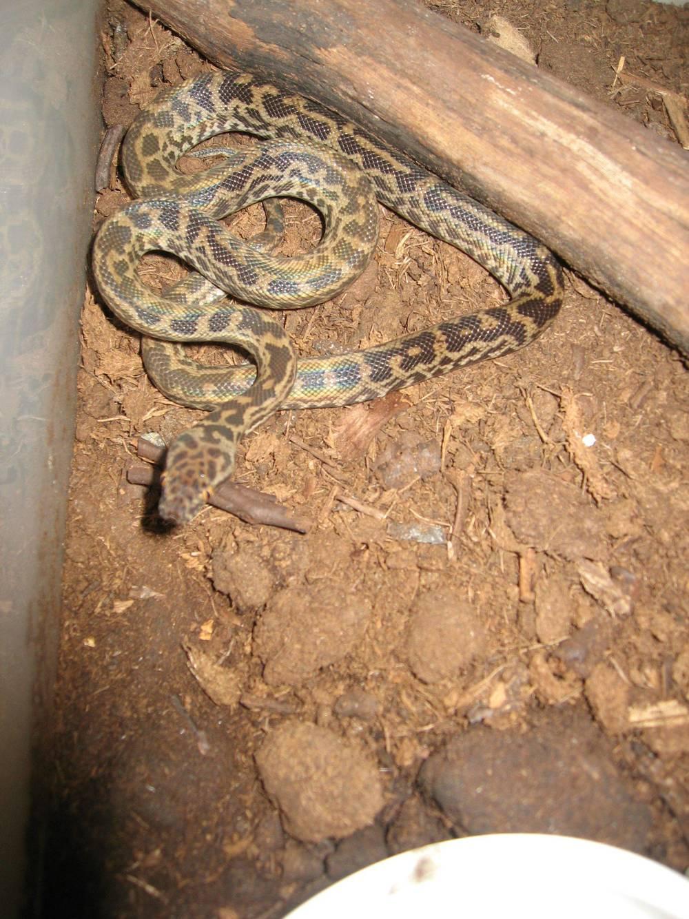 07 - Spotted python.jpg