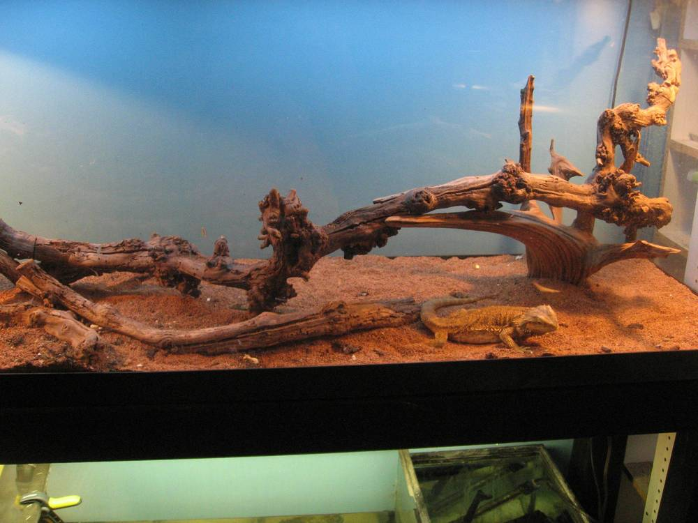 28 - Bearded Dragon.jpg