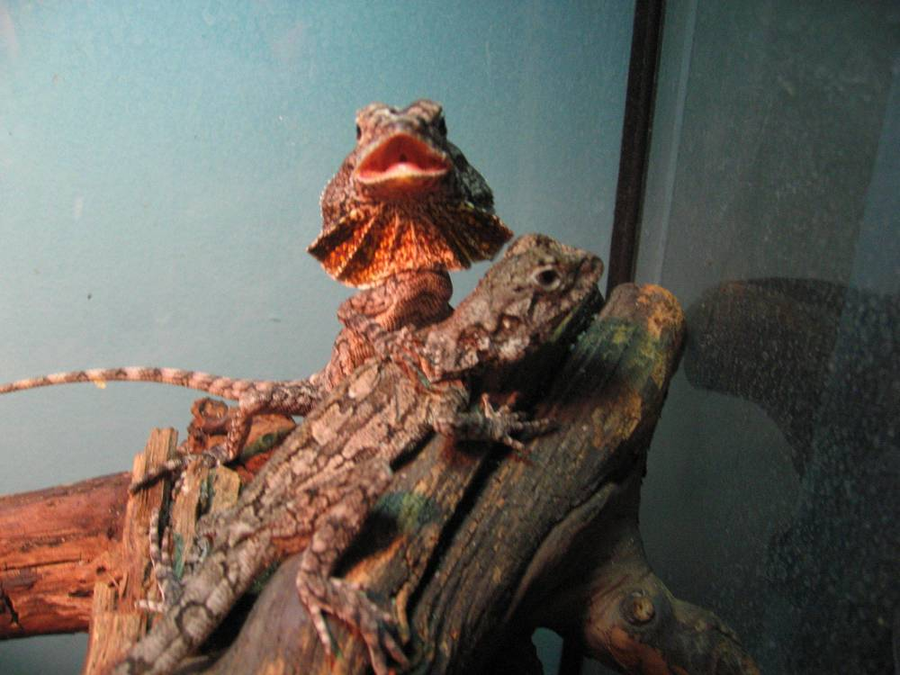 30 - Frilled dragons.jpg