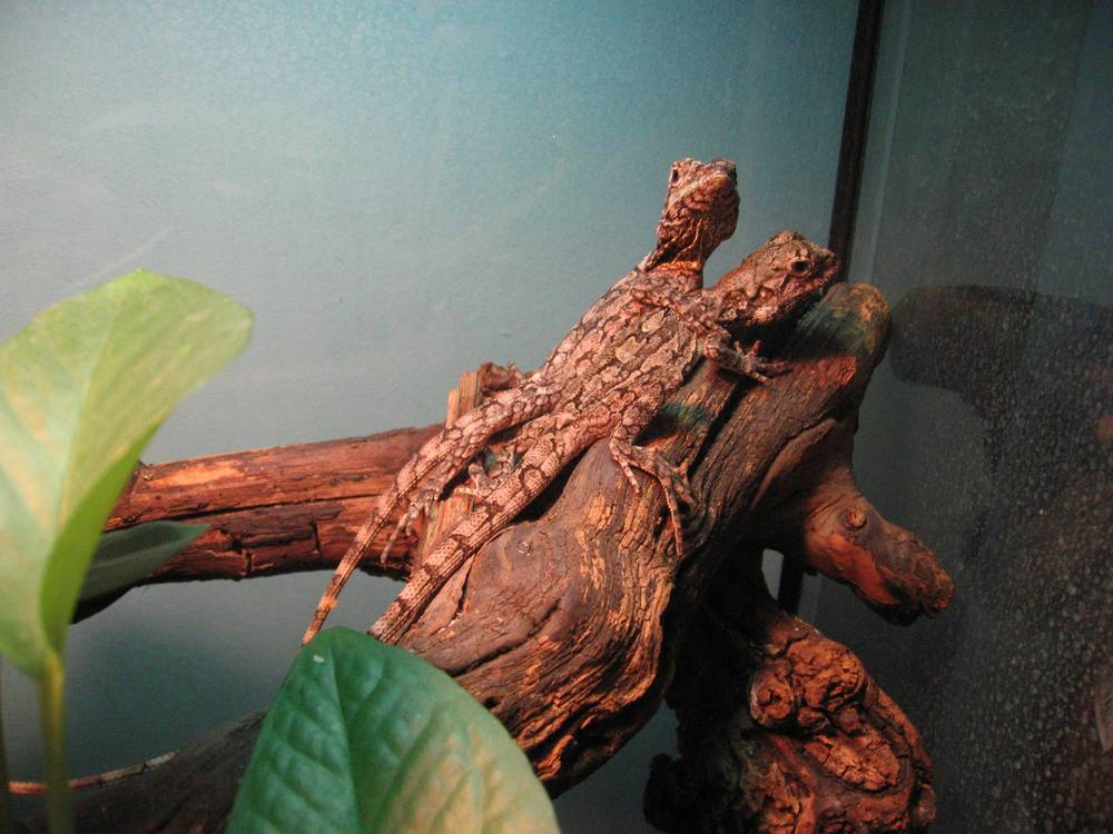 29 - Frilled dragons.jpg