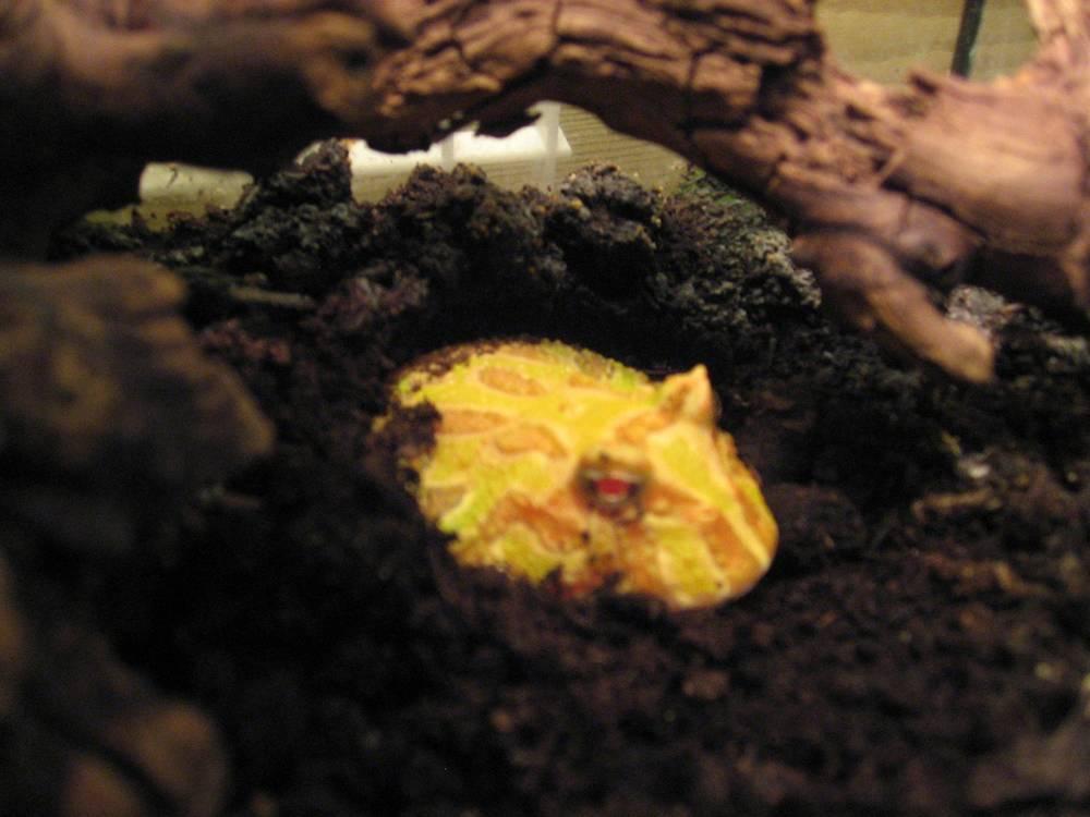 33 - pacman frog.jpg
