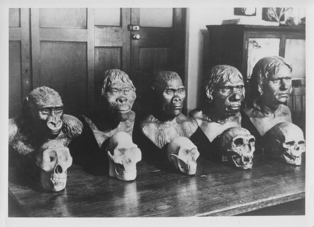 Paleo lineup, ca. 1950.  Casts from R.F. Damon & Company.  Photo courtesy of the University of Witwatersrand archive.