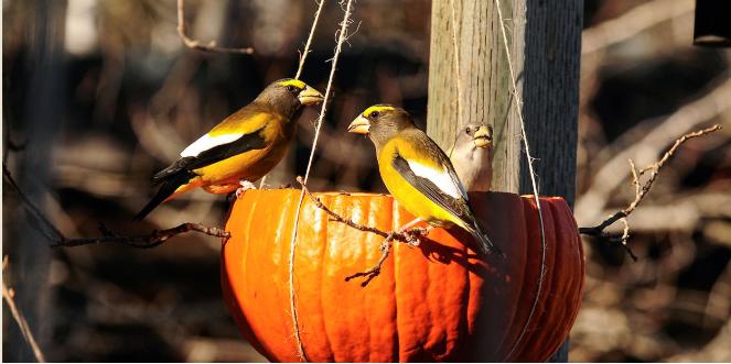Pumpkin Bird Feeder 南瓜餵鳥器
