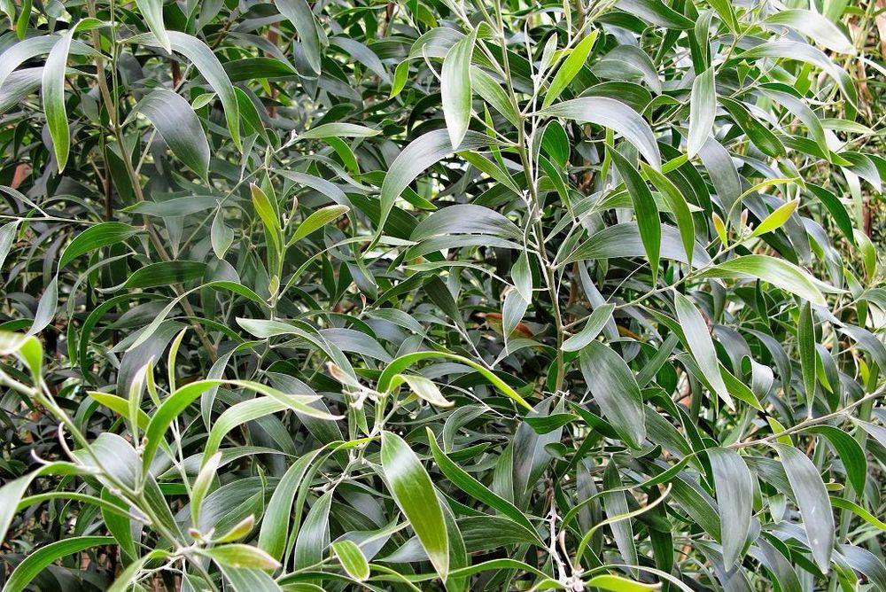 Acacia melanoxylon-rq-20090613-1l.jpg