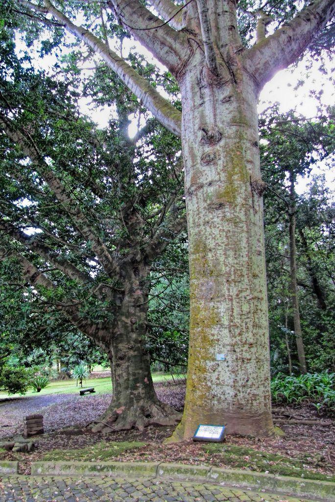Agathis robusta-rq-20140113-1s.jpg