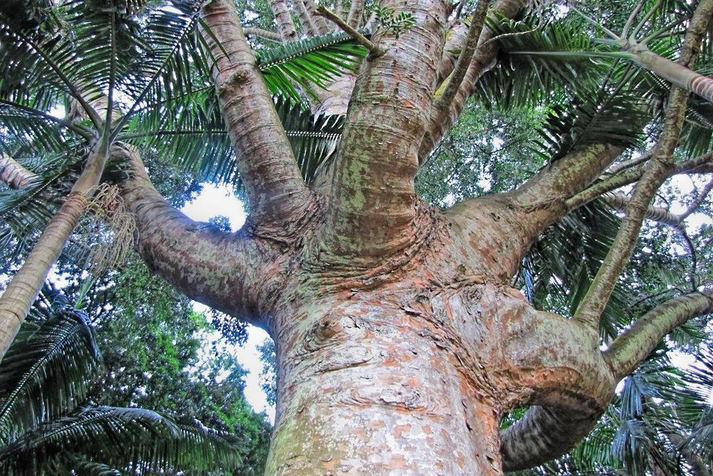 Agathis robusta-rq-20140109-2e.jpg