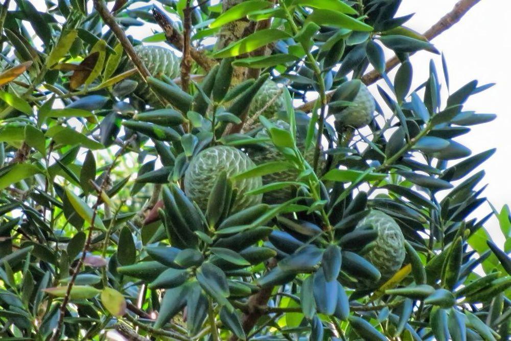 Agathis robusta-rq-20130914-2j.jpg