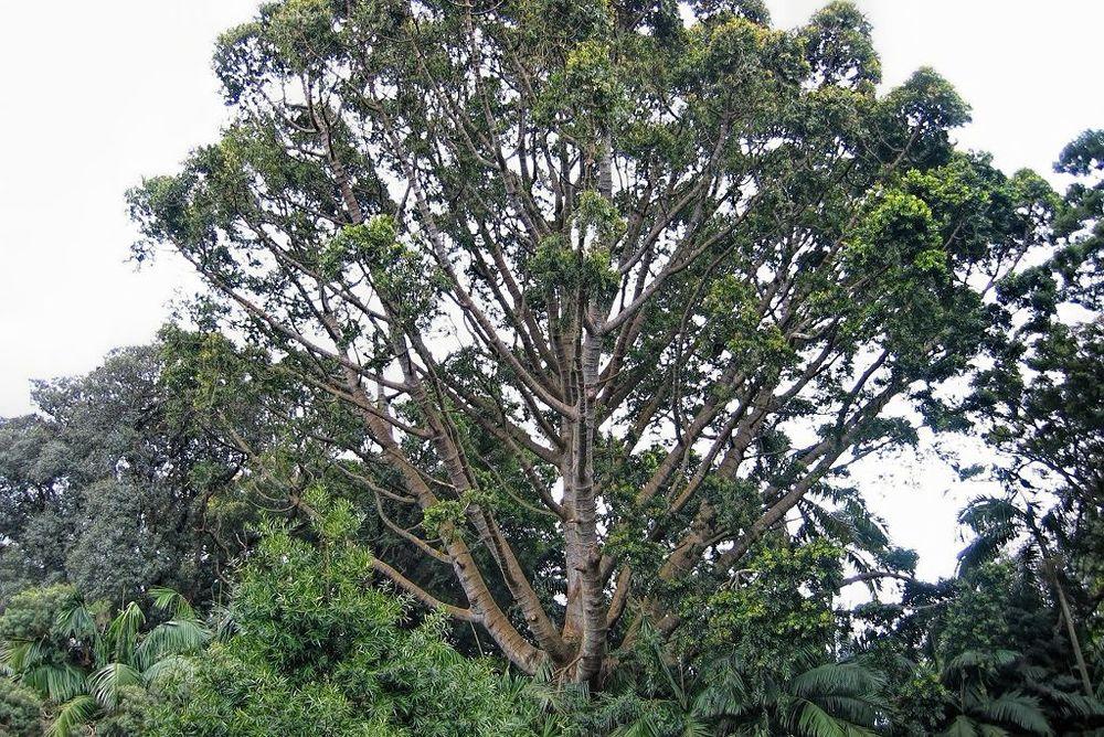 Agathis robusta-rq-20030414-1a.jpg