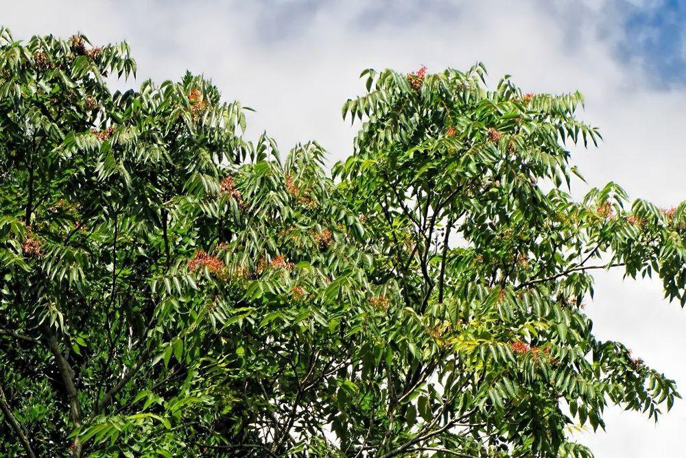 Ailanthus altissima-rq-20130914-1e.jpg