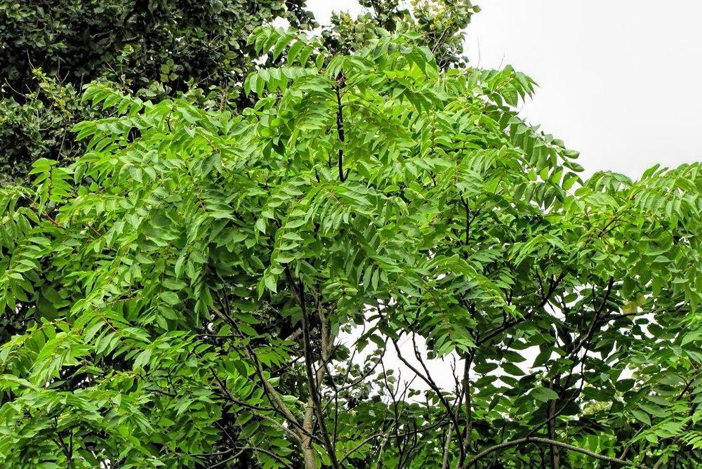 Ailanthus altissima-rq-20130914-1b.jpg