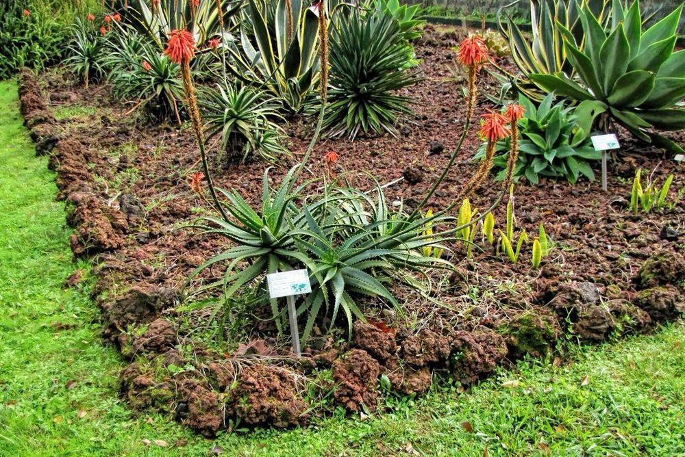 Aloe arborescens-rq-20140109-1a.jpg