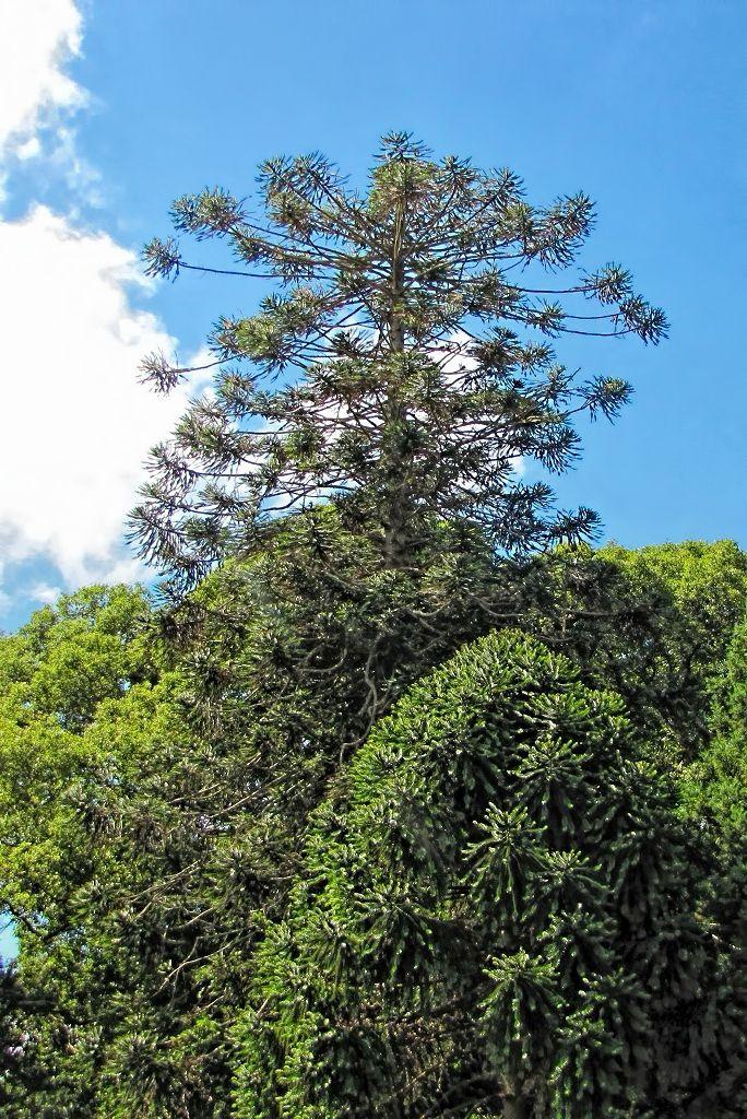 Araucaria bidwillii-rq-20130914-1o.jpg