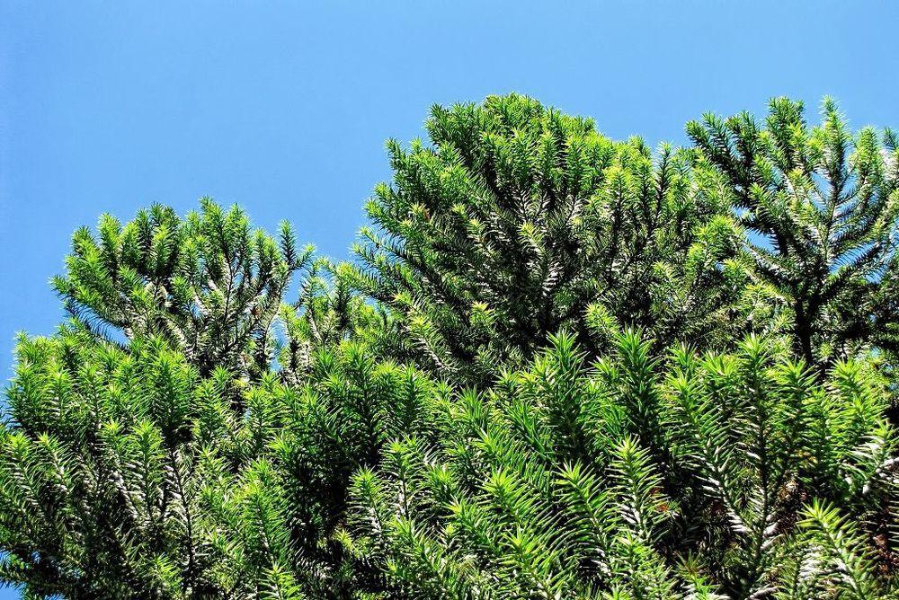 Araucaria bidwillii-rq-20130914-1a.jpg