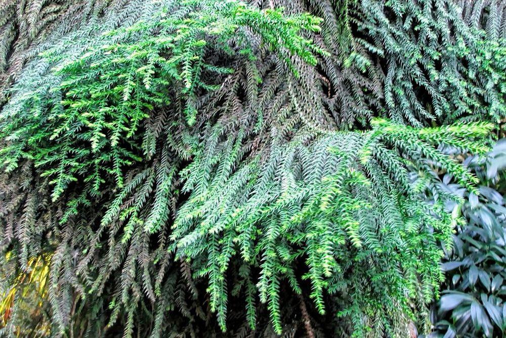Araucaria cunninghamii-rq-20130914-1h.jpg