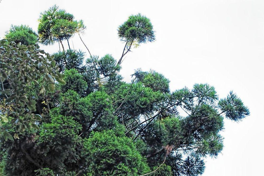 Araucaria cunninghamii-rq-20130914-1a.jpg