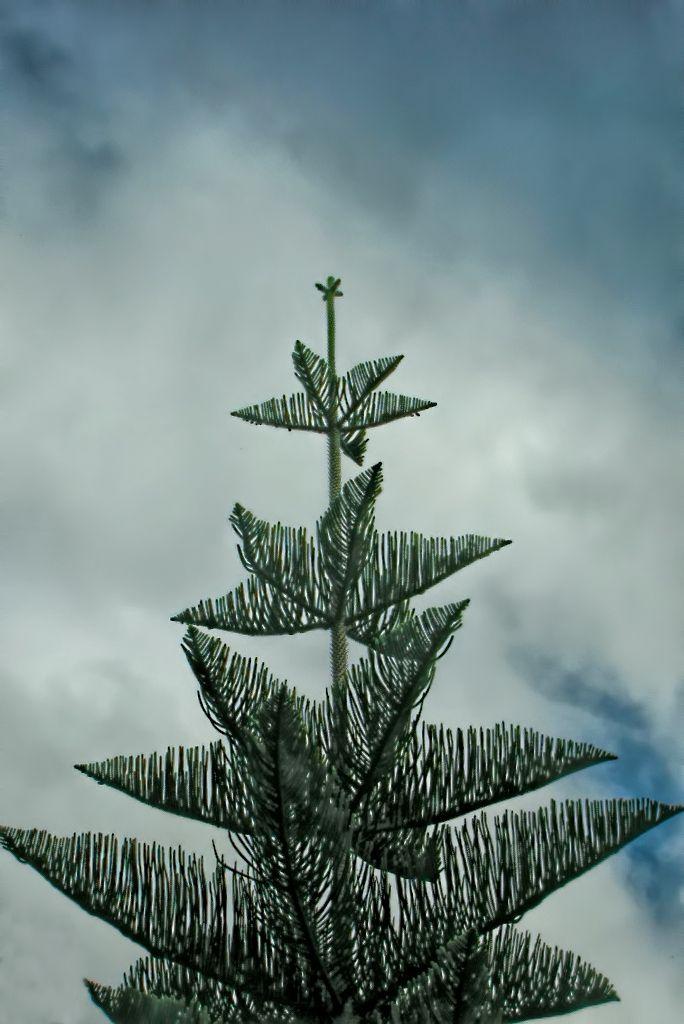 Araucaria heterophylla-rq-20130915-1c.jpg