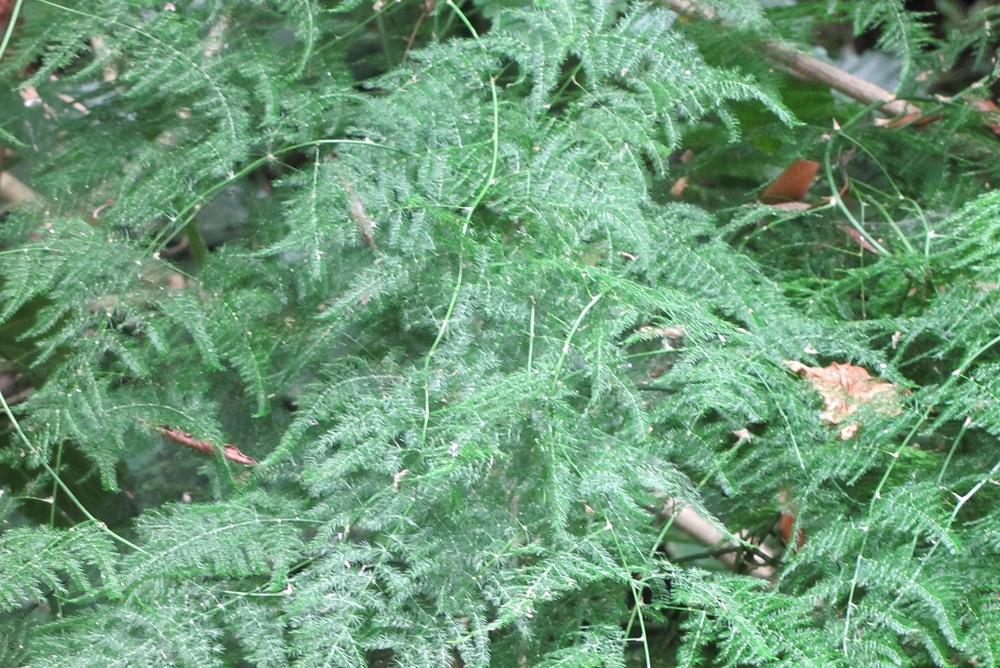 Asparagus setaceus-rq-20130914-1a.jpg