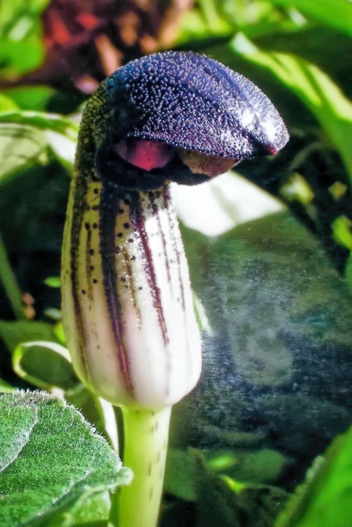 Arisarum vulgare-rq-20100108.jpg