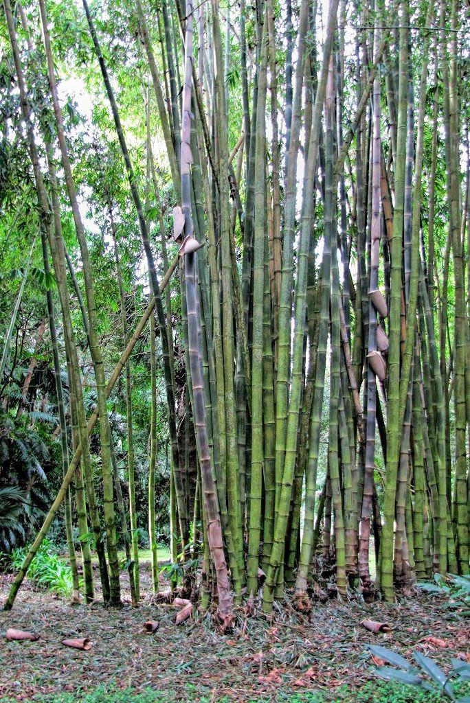 Bambusa arundinacea-rq-20140109-1b.jpg