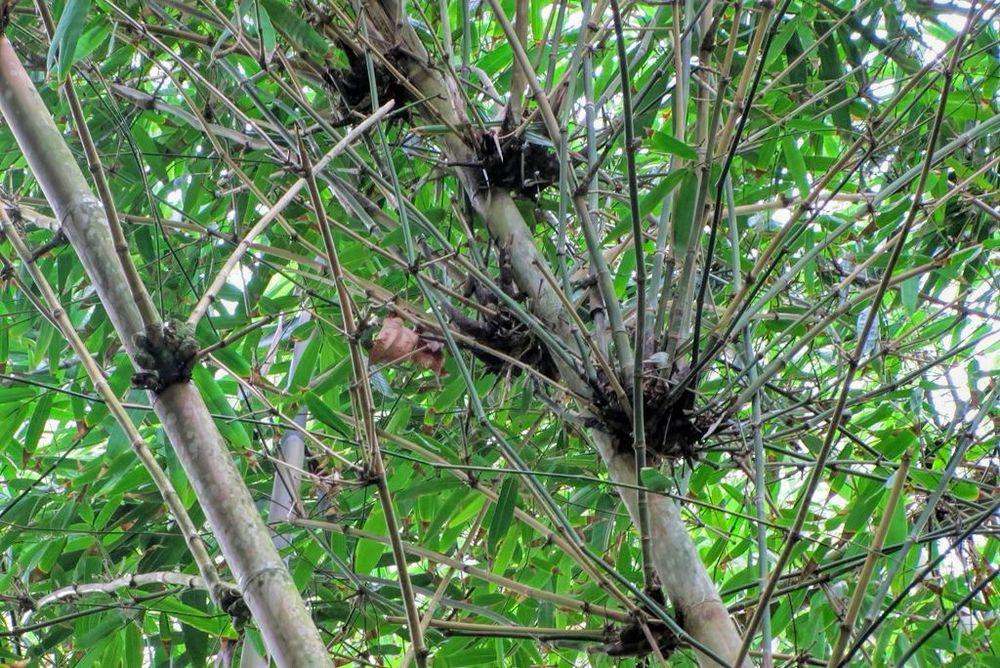 Bambusa arundinacea-rq-20140109-1g.jpg