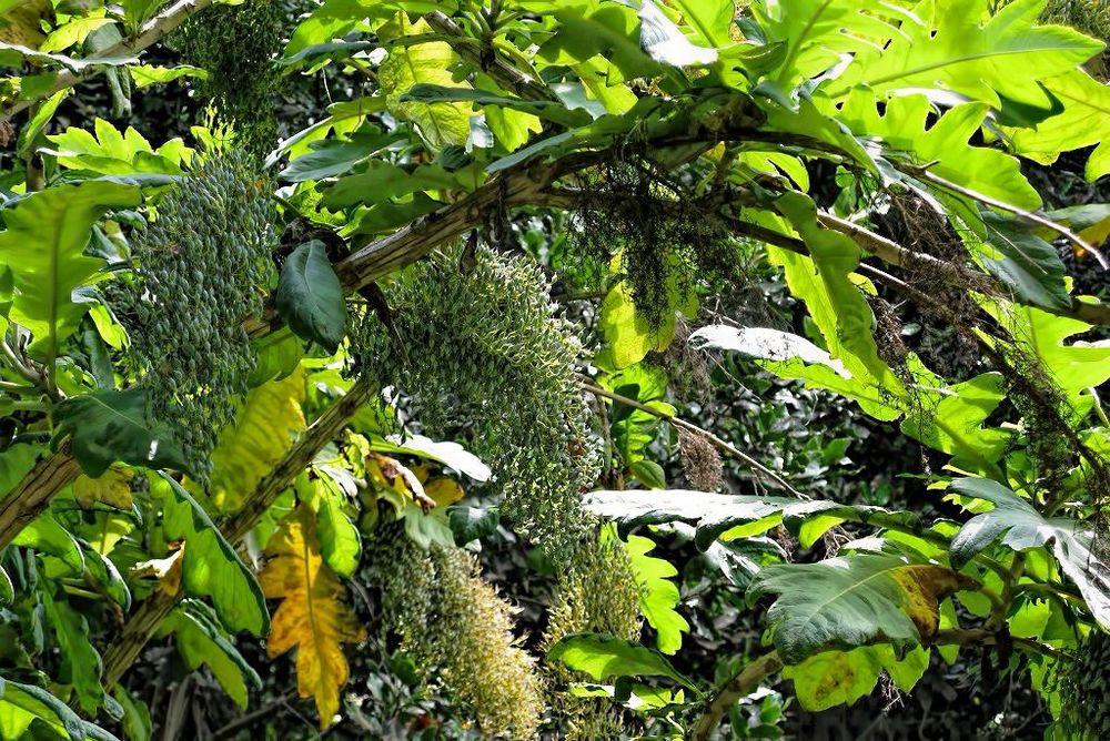 Bocconia frutescens-rq-20090616-1a.jpg