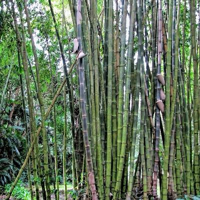 Bambusa bambos