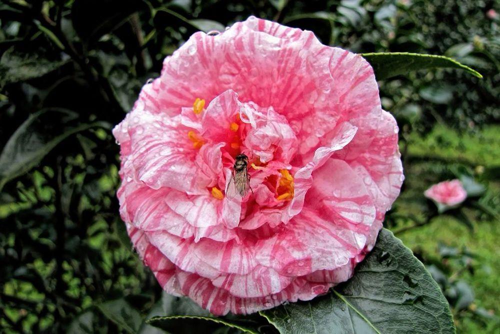 Camellia japonica-rq-20140110-3b.jpg