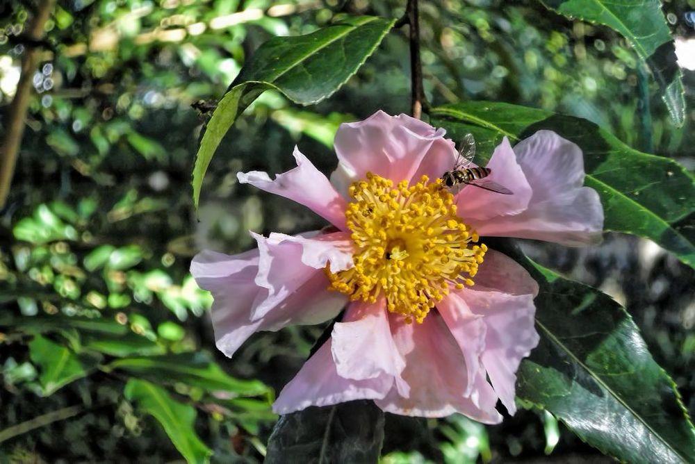 Camellia sasanqua-rq-20131217-1a.jpg