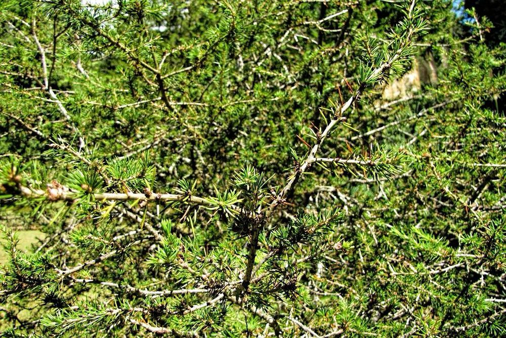 Cedrus libani-rq-20130914-1e.jpg
