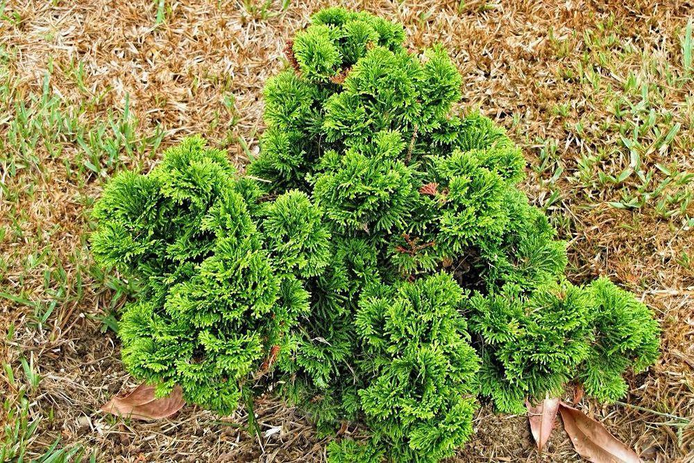 Chamaecyparis obtusa 'Nana'-rq-20130914-1b.jpg