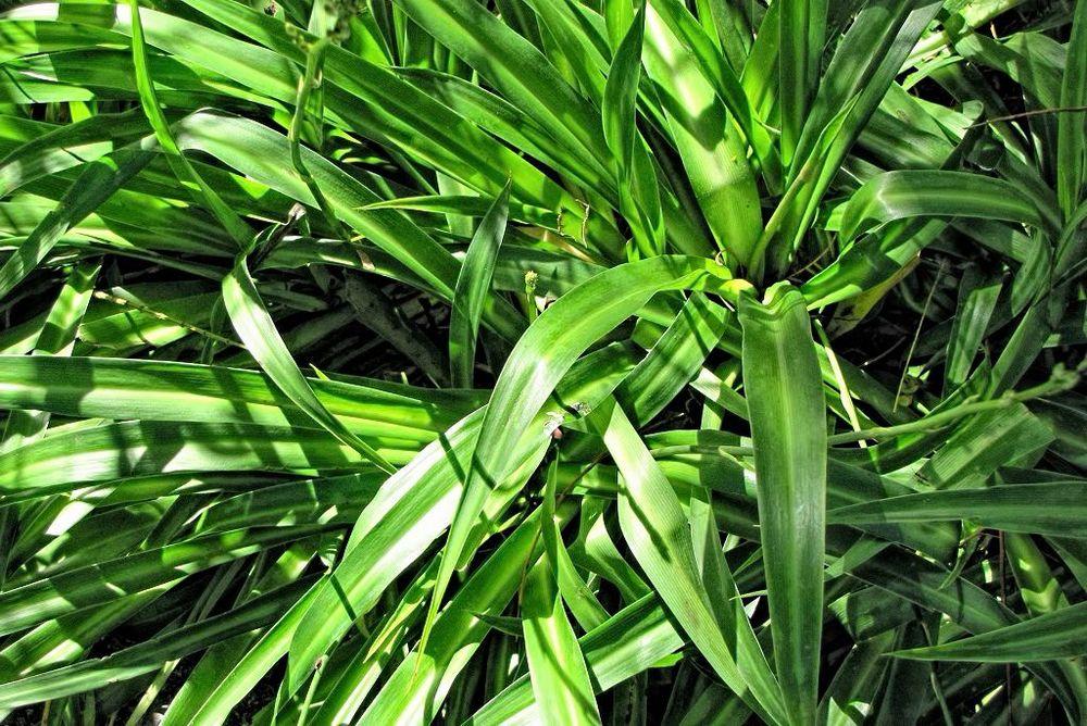 Chlorophytum comosum-rq-20140206-2o.jpg