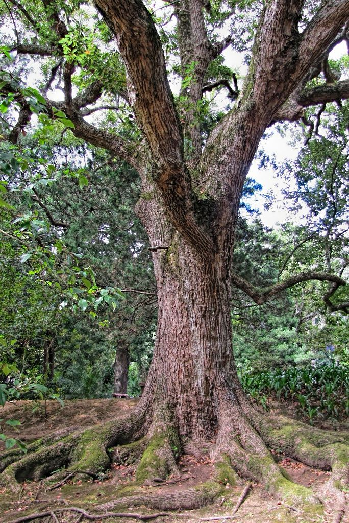 Cinnamomum camphora-rq-20130914-1d.jpg