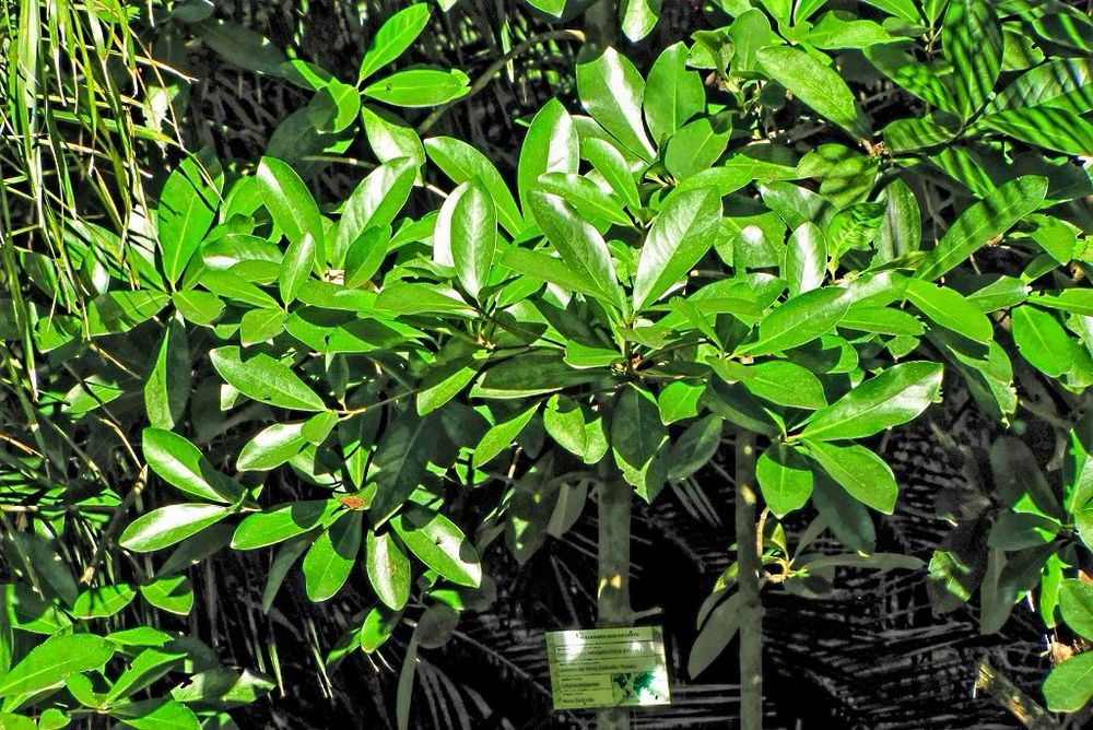 Corynocarpus laevigatus-20140113-1b.jpg
