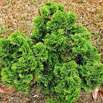 Chamaecyparis obtusa'Nana'