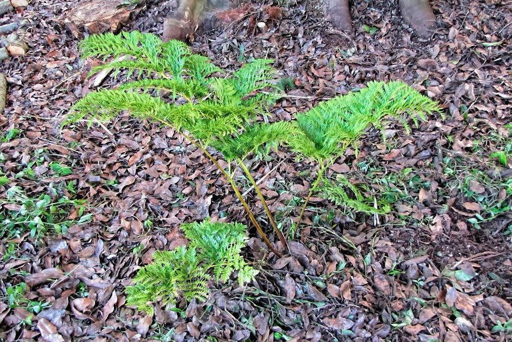 Culcita macrocarpa-rq-20140113-1j.jpg