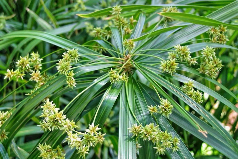 Cyperus alternifolius-rq-20050325-1n.jpg
