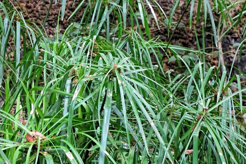 Cyperus alternifolius-rq-20130914-1a.jpg