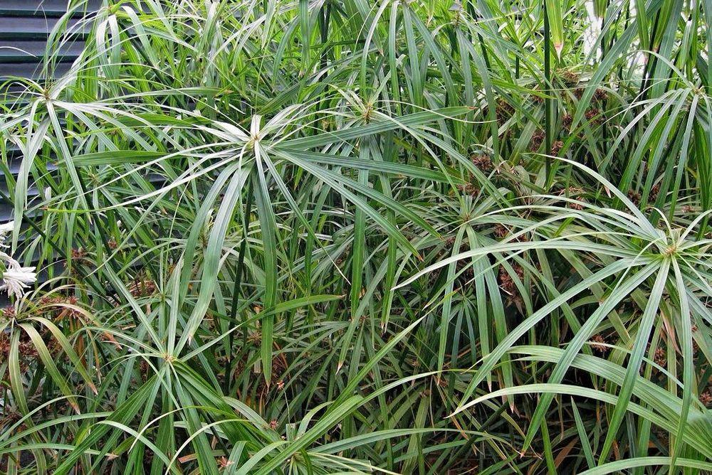 Cyperus alternifolius-rq-20040427.jpg