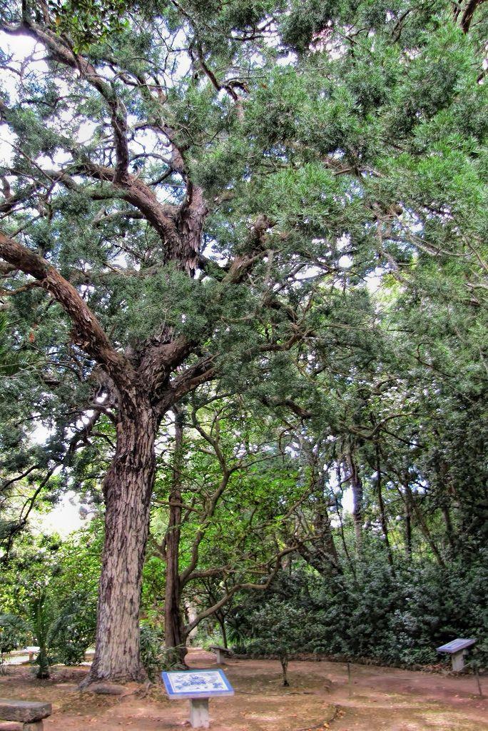 Afrocarpus falcatus-rq-20130914-2d.jpg